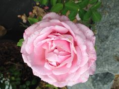 Pink Rose from Long's Plant Farm Goldsboro NC © Rhiann Wynn-Nolet Quince Cottage Farmhouse Garden