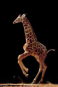 Playful giraffe.