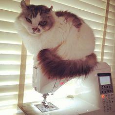 Cat on my Swing Machine. #cat #sewing