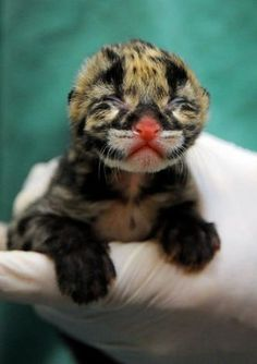 Two Rare Clouded Leopard Cubs Born At Smithsonian Conservation Biology