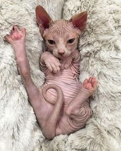 Top 13 Naturally Pet-Friendly Cat Breeds - Hairless Cat - Ideas of Hairless Cat - The Sphynx is another pet-friendly cat. The post Top 13 Naturally Pet-Friendly Cat Breeds appeared first on Cat Gig. Animals And Pets, Baby Animals, Funny Animals, Cute Animals, Wild Animals, I Love Cats, Crazy Cats, Cute Cats, Beautiful Cats