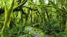 The Goblin Forest, Tararua Ranges, near Wellington, New Zealand.