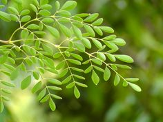 Moringa, The Most Nutritious Plant In The World With 92 Nutrients and 46 Anti-Oxydants Miracle Tree, Chronic Fatigue Syndrome Diet, Cure Diabetes Naturally, Going Natural, Healthy Juices, Dental Implants, Natural Remedies, The Cure, Plant Leaves