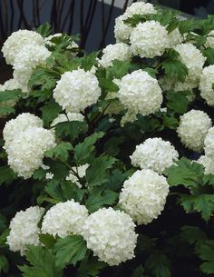 If you're seeking an easy care plant with showstopping summer blooms, look no further. White Wedding Hydrangea can take heat and cold as well as heavy winter pruning. Kew Gardens, White Gardens, Back Gardens, Outdoor Gardens, Hydrangea Landscaping, Hydrangea Garden, Front Yard Landscaping, Hydrangeas, White Flowers