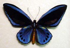Rare blue birdwing butterfly Ornithoptera Urvillianus blue male birdwing butterfly from Papua New Guinea
