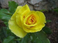 sarı güller