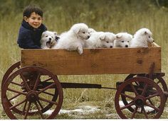 Little wagon full of love; samoyed pups and cute boy