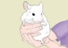 How to Care for Chinchillas.