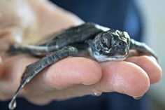 Hundreds of baby Sea Turtles were washed ashore by Hurricanes Matthew and Nicole.  Learn how the Brevard Zoo is recusing these tiny Turtles and see video at ZooBorns.com and at http://www.zooborns.com/zooborns/2016/10/zoo-awash-with-hurricane-stranded-baby-turtles.html