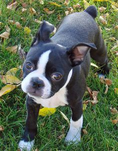 The many things we all like about the Small Boston Terriers Cute Puppies, Cute Dogs, Dogs And Puppies, Doggies, Bulldog Puppies, Terrier Breeds, Terrier Puppies, Boston Bull Terrier, Paisley