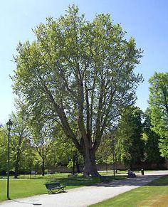 """Torino - Il platano della Tesoriera -Denominato popolarmente """" il nonno """", è stato piantato nel '700."""