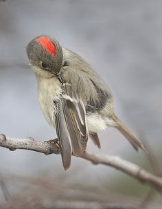 Ruby-crowned Kinglet is a very small passerine bird found throughout North America