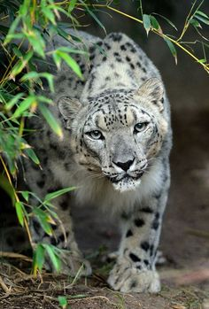 Anna the Snow Leopard is a sneaky and stealthy beauty. (photo by Mike Wilson)