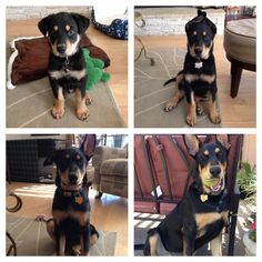 Jax through his first year - doberman shepherd mix Doberman Shepherd, Doberman Mix, Cute Puppies, Dogs And Puppies, Doggies, Animals And Pets, Cute Animals, German Shepherd Mix, Lovely Creatures