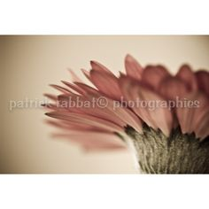Gerbera Photo Fine Art Photography Macro Flower Picture Pink Romantic... ($9.37) ❤ liked on Polyvore featuring home, home decor, wall art, gerbera photo, integritytt, patrick, photography wall art, flower picture, pink home decor and pink flamingo wall art