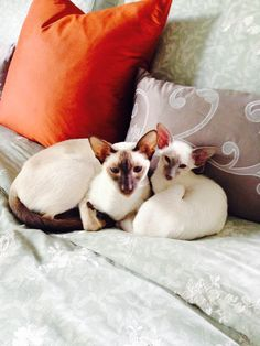 Half brothers Siamese cats