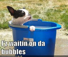 Boston terrier imagines he is in a hot tub