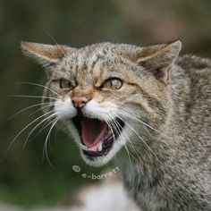 Scottish Wild Cat/Wildcat Felis silvestris (silvestris)