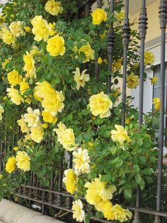 Golden Shower Roses