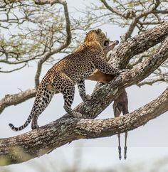 This cat seems to enjoy his meal up on a tree. Tanzania Safari, Arusha, African Safari, Wildlife, Cats, Nature, Meal, Animals, Explore