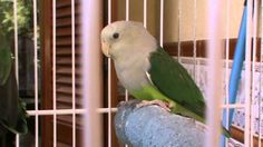 Agapornis Canus (Grey-headed Lovebirds) Love Birds, Grey, Animals, Gray, Animales, Animaux, Animal, Animais
