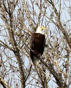 bald eagle Los Banos refuge Happy Bird Day, Love Photography, Bald Eagle, Birds, Animals, Animales, Animaux, Bird, Animal