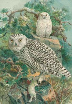 Naumann,(J.A.) | Naturgeschichte der Vögel Mitteleuropas. 1879 owls