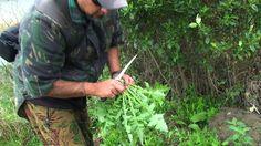 Picking Puha (Maori Kai - Facebook)