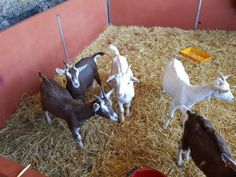 Cross bred Billy kid goats for sale For Sale in Newport, Gwent | Preloved