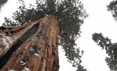 Photograph The President EMGN2  President Sequioa by ilyke  3rd largest tree on earth