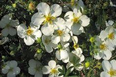 Heesterganzerik 'Abbotswood'    De Potentilla fruticosa 'Abbotswood' (Heesterganzerik 'Abbotswood') is een vrij hoge potentila (tot 100 cm. hoog). De Heesterganzerik 'Abbotswood' bloeit in de zomermaanden van juni tot en met oktober uitbundig met witte bloemen. De Heesterganzerik 'Abbotswood' heeft blauwgroen blad.