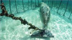 Más cruel, imposible: dugones encerrados y atados bajo el mar