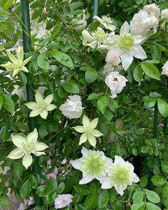 'Climbing Summer Snow' rose and clematis 'White Manju' #(@noriko.rose.garden)