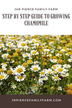 Interested in growing your own chamomile? It smells great, looks beautiful, and has a variety of health and wellness benefits. Here are the best and most important tips you need to know to grow chamomile in your herb garden. Herb Garden Design, Diy Herb Garden, Garden Oasis, Gardenias, Growing Herbs, Growing Vegetables, Chamomile Growing, Hydrangea Seeds, Organic Gardening Tips