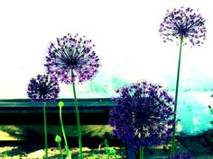 Trädgårdsdesign - Halmstad, Båstad & Laholm, Torekov & Bjäre - Anemone trädgårdsdesign - lila alliumlök i sin vackraste form