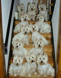"I am having a very difficult time loosing my ""Angel"". I love my Westies ...."
