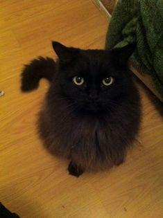 black ragdoll cat | Ziggy Stardust, long haired Ragdoll*British Short hair cross. soot ...