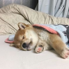 puppy care tips Link Puppy Care, Pet Puppy, Dog Cat, Animals And Pets, Baby Animals, Cute Animals, Really Cute Puppies, Cute Dogs, Shiba Inu