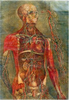 Anatomy of the Visceras, dissected, painted and engraved by Gautier