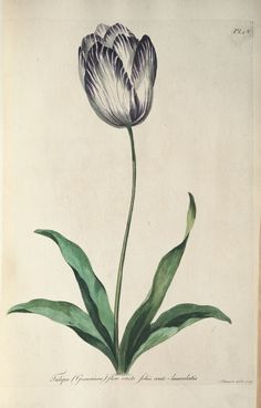 Antique botanical plate from 1775 - Common tulip by John Edwards