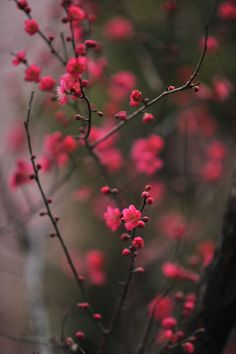plum blossoms | umenohana, via Tokyobling's Blog.