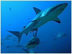 Caribbean reef sharks for species coutdown- Shark Week. Shark Diving, Reef Shark, Shark S, Shark Week, Orcas, Shark Facts, Underwater Creatures, Roatan, Shark Bites