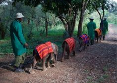 Orphaned baby elephants heading off to 'school' the (bush) in their 'uniforms'. They head off to the Nairobi National Park forest to explore and to play http://ift.tt/2ljYT1s
