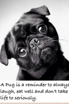 Pugs are some of lifes greatest little reminders