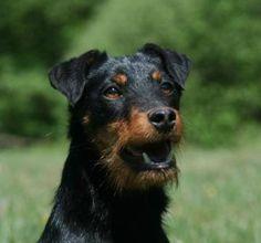 jagd terrier - Пошук Google