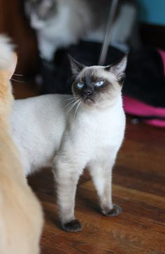 A blue point Siamese cat. All blue point cats, regardless of breed, have pure snow white coats with dark gray color points. Pretty Cats, Beautiful Cats, Animals Beautiful, Cute Animals, I Love Cats, Cute Cats, Funny Cats, Siamese Cats, Cats And Kittens