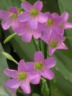 IMG_1409紫花酢漿草, via Flickr.