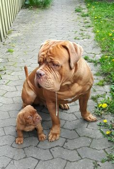 Dogue de Bordeaux with pup. It seems like the pup is looking at the drool.