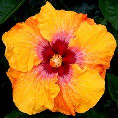 Exotic Hibiscus 'Eye of Kali'