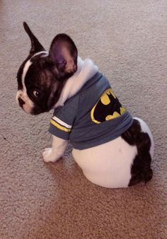 French Bulldog Puppy in Batman T-shirt